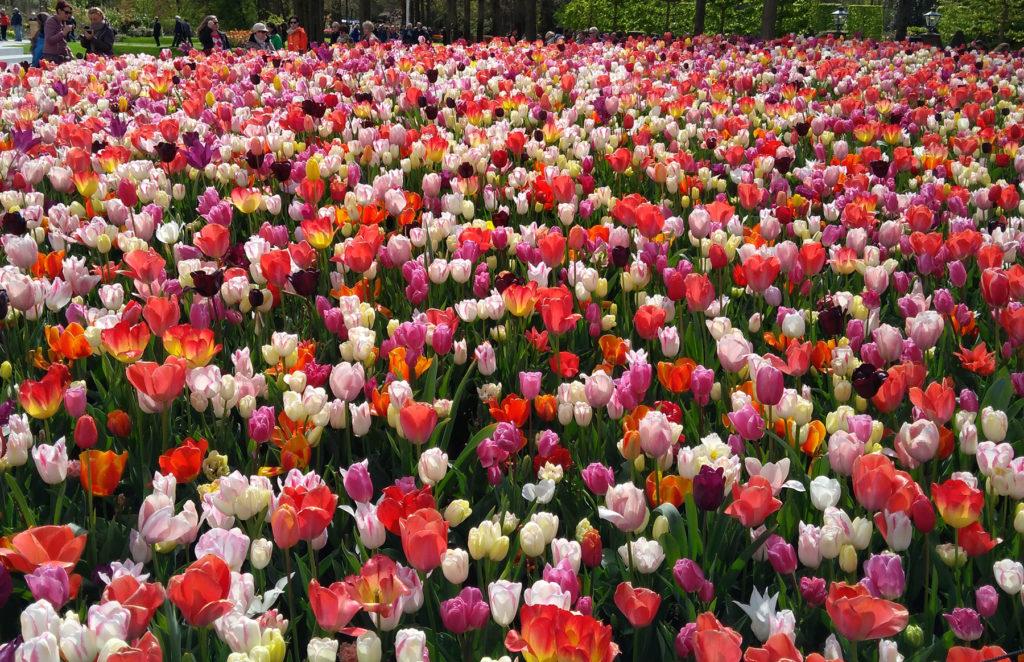 Tulip Fields Keukenhof